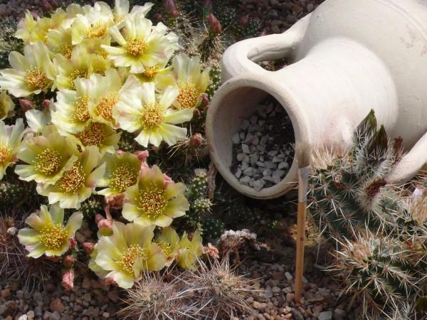 "Opuntia fragilis ""SB1413 Deuel Co Nebraska"" 9cm Topf"