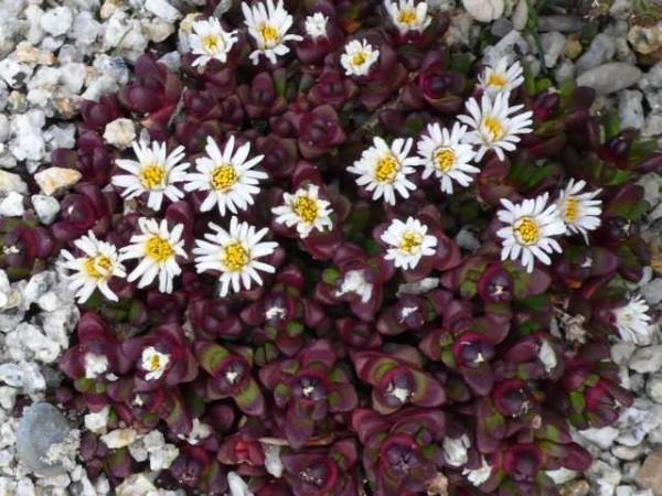 "Delosperma alpina (früher spec. ""Sani Pass"") 9cm Topf"