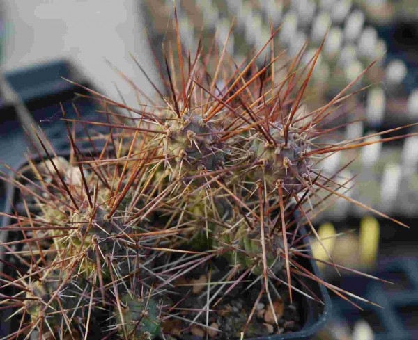 "Opuntia fragilis ""La Sal Mts. 2300m"" 9cm Topf"