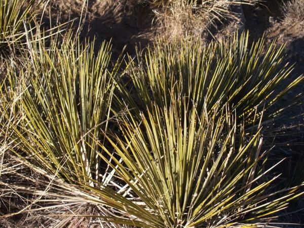 "Yucca glauca ""ssp albertana "" Montana"" 2 Liter Topf"