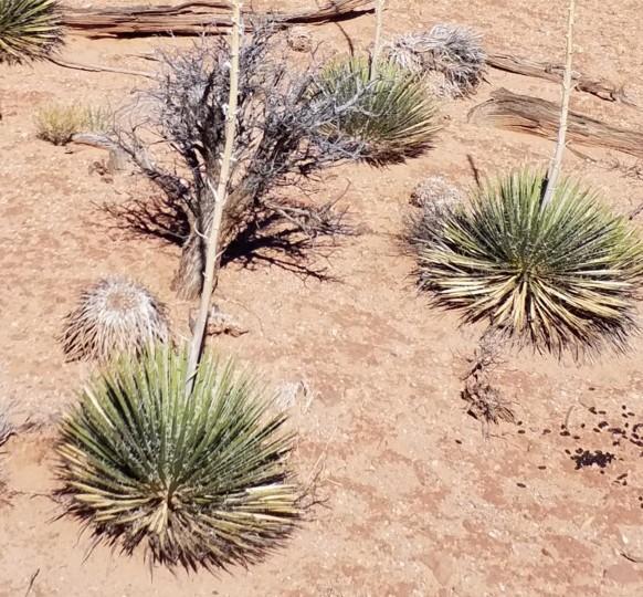 """Yucca angustissima subsp. toftiae """"San Juan Co Utah 1950m 2 Liter Topf"""
