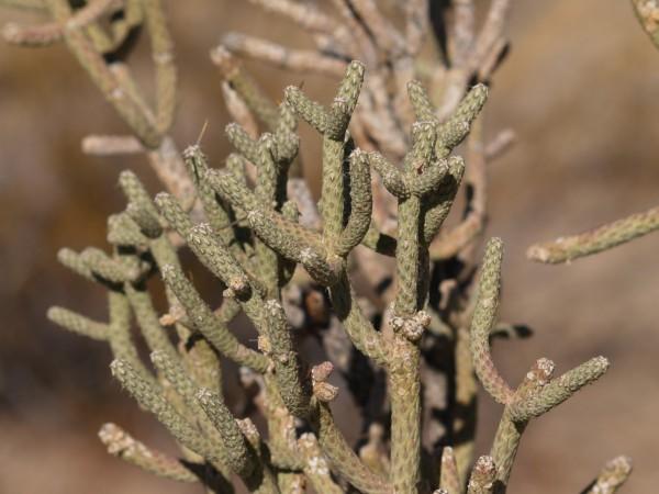Cylindropuntia ramonsissima 1703 9er Topf