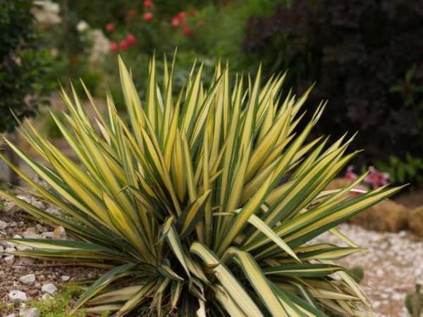 "Yucca filamentosa ""Colour Guard"" 23er Topf"