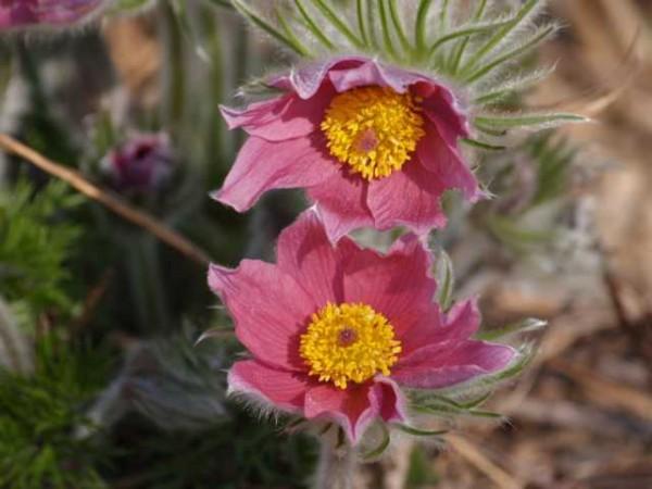 """Pulsatilla vulgaris """"Papageno"""" meist gefranzte Blüten /Küchenschelle 9cm Topf"""