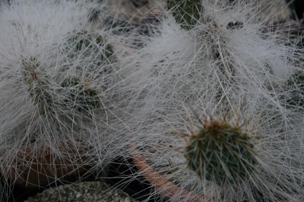 "Opuntia polyacantha var polyacantha ""trichophora"" 9cm Topf"
