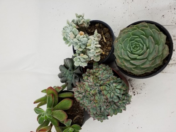 Echerverien Sortiment 5 Pflanzen 5,5cm Topf
