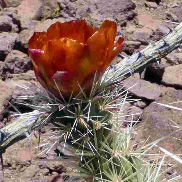 "Cylindropuntia acanthocarpa ""Mead View AZ"" 9cm Topf"