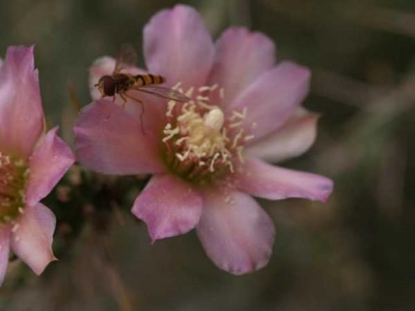 Cylindropuntia kleinae /1702 9cm Topf