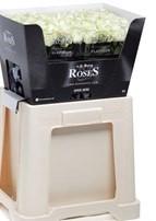Rosenbox 100 weiße Edelrosen XXL