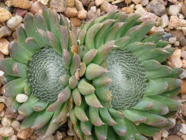 Orostachys spinosus /Sternwurz 9cm Topf