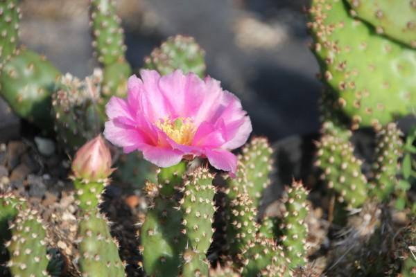 "Opuntia phaeacantha ""minor"" /4027 9cm Topf"