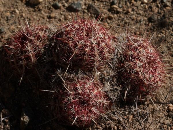 "Echinocereus viridiflorus ""Santa Fe NM"" 9cm Topf"