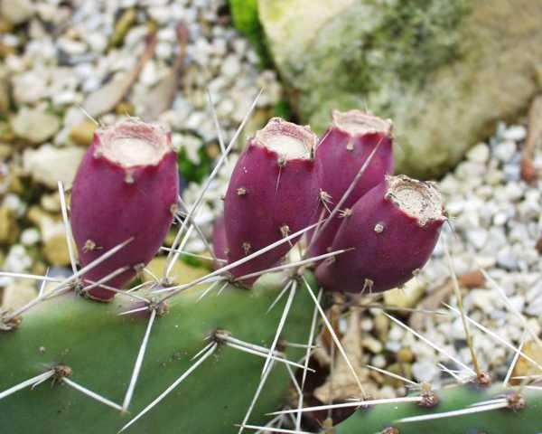 "Opuntia phaeacantha ""Orangade"" /4007 9cm Topf"