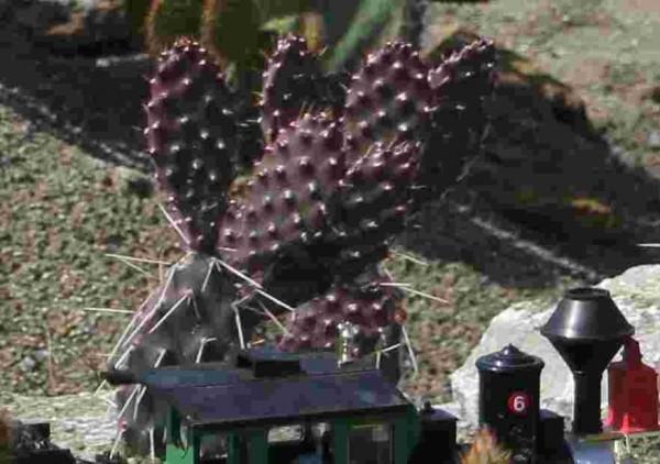 "Opuntia polyacantha var. polyacantha ""rhodantha Pisciformis"" /3802 9cm Topf"